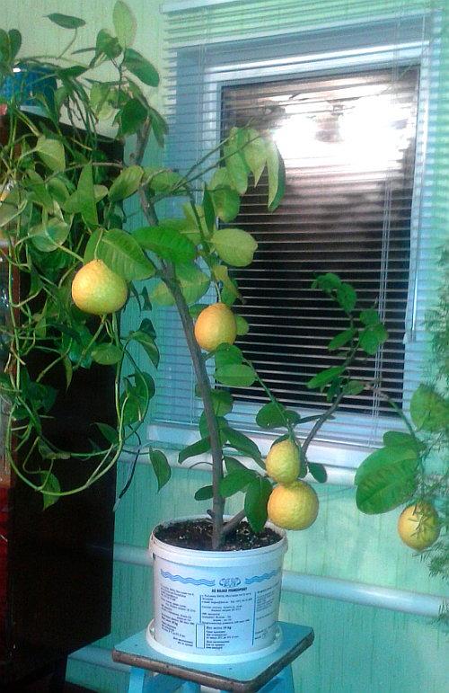 limon doma 1