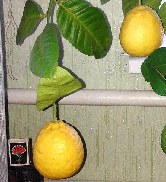 limon doma 2