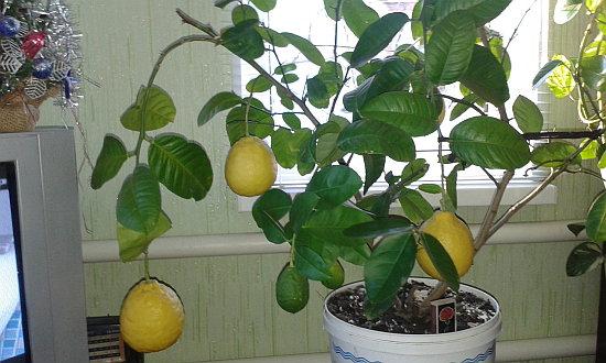 limon doma 3