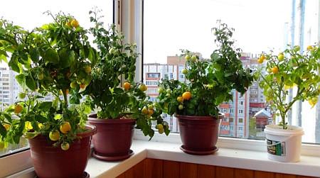 Выращивание помидоров зимой в квартире