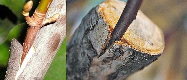 Щеплення дерев