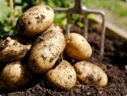 сколько нужно сушить картошку после копки