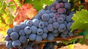 vino iz vinograda